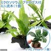 (水草)ミクロソリウム プテロプス付 流木 SSサイズ(1本) +ライフマルチ(茶) アヌビアスナナ