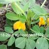 落花生(らっかせい)栽培のリベンジ