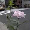 交差点のバラ