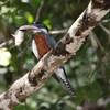 クビワヤマセミ(Ringed Kingfisher)の食事風景