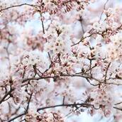 【決定版】プリントアウトして使える!お花見の持ち物チェックリスト