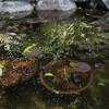庭池の水換え