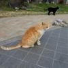【猫の鳴き声】サバ猫の穏やかな「るるる」