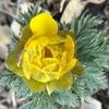 春を告げる花。福寿草、マンサク、、、。