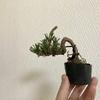 黒松の植え替え
