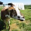 【酪農おしごと】 放牧