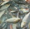 大王崎沖のイサギ釣り 爆釣