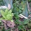 フキノトウ、それは道端になんぼでも生えている食べきれないほどのごちそう