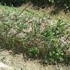 野菜の追肥で雑草も成長