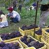 ぶどう収穫祭