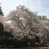 桜の季節に誕生日。