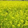 満開の菜の花