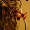 キロスキスタ・ルニフェラの花が咲いた。