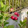 ジューンベリー初収穫