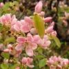 花梨の花 2015 4月