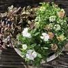 寄せ植え秋冬用に、からす葉みせばや・ナデシコ・スイートアリッサムを合わせてみました♡