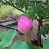 花ハス、咲きましたぜダンナ!