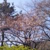 大島自然の村公園のさくら情報入手 3月20日!