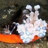 フリソデエビのお母さん、ヒトデを食べながら子どもを遊ばせる Mother of Furisodeebi eats a starfish while letting her son play on it