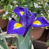 ダッチアイリス:昨年購入した苗が今年も花を咲かせてくれました.昨年以上に立派に見えます.ダッチアイリスは   キジカクシ目Asparagales,アヤメ科Iridaceae.現在,我が家でも咲いているシャガもアヤメ科の植物で, japonica の学名がつけられています.そして,  アヤメ科が属するキジカクシ目にまで広げれば,昨日取り上げたエビネをはじめ,今,庭に咲いている花のいくつかが,キジカクシ目の植物です.ハナニラ,オオツルボ,アマドコロ(ソロモンズシール).