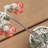 コチレドン・福娘、エケベリア・ホワイトシャンパン、パキフィツム・ベビーフィンガーの花
