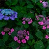 京都・梅津 - 梅宮大社の花菖蒲と紫陽花