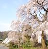 河津桜の次はここ!龍源院のしだれ桜