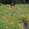 初夏の尾瀬の花!