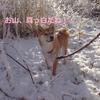 柴犬チャー、ショー先輩と雪山で遊ぶ