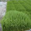秋田で5月の観測史上最大の大雨、明日は田植えの予定。