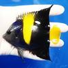 【現物8】アズファー 10cm± 海水魚 ヤッコ 餌付け!15時までのご注文で当日発送【ヤッコ】