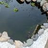 朱文金 池の掃除から一夜明けた透明度とPH