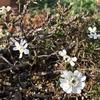 春到来、宿根イベリス開花!