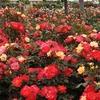 「憩いの農園」のバラ 2017 5月