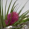 エアープランツの花が咲いて色が変わった