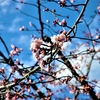 安行寒桜 (その1)