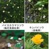 バイカモ(梅花藻) : キンバイソウ(金梅草) ,バイカカラマツソウ(梅花落葉松草,梅花唐松草)とともにキンポウゲ科に属します.夏の風物詩として新聞に取り上げられることも多い水生植物ですが,全国各地でその生育地を減少させつつあり,移植による種の保全が実施されています. 渓流の早瀬となれば梅花藻は水のなかにてなびきつつ咲く  大島 史洋 「梅/梅花の名前が付けられた植物」3