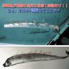 【地震前兆】『リュウグウノツカイ』・『サケガシラ』などの深海魚が地震の前兆という言い伝えは迷信!東海大学と静岡県立大学の研究チームが発表!じゃ、今日からはオカルト認定ってことでよろしく~