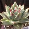 今年もよろしくお願いいたします!! エボニー・サリトレラの葉先がやっと紅葉してきました。