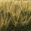 「尻踏み」と大麦の畦畔の草刈り