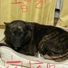 甲斐犬サン、番犬放棄するの巻〜イヤ(≧ヘ≦ ))(( ≧ヘ≦)イヤ‼︎