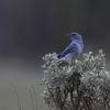 ムジルリツグミ(Mountain Bluebird)の子育て