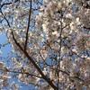 子連れぽ!上野公園でプチお花見。満開日を2日過ぎ、散りかけの桜もまた良し。