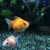 日本の美!金魚の世界!