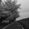 天気が良いので夜桜見物
