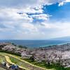 吾妻山公園からの相模湾と桜