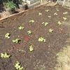 サニーレタスを定植しました