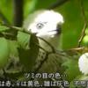小さな猛禽ツミの目の色