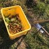 久々の朝畑でキクイモ収穫、食べるインスリン