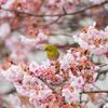 熱海の桜とメジロ